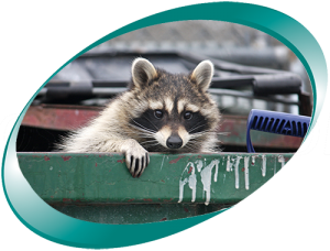 Raccoon peering out of dumpster