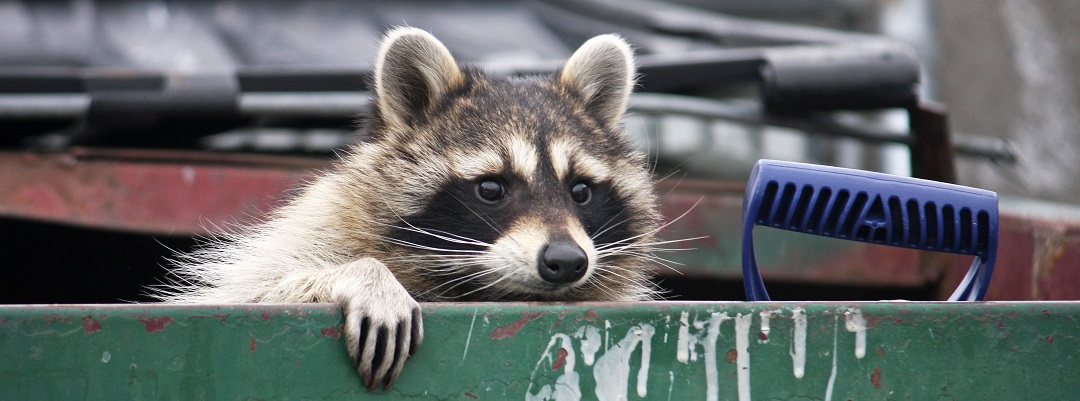 Waste Removal Management Consulting | Raccoon peering out from dumpster | Cost Control Associates